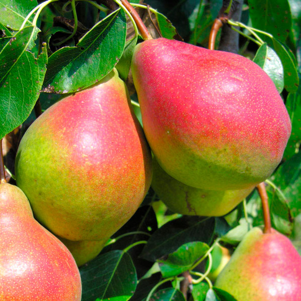 Summercrisp Pear