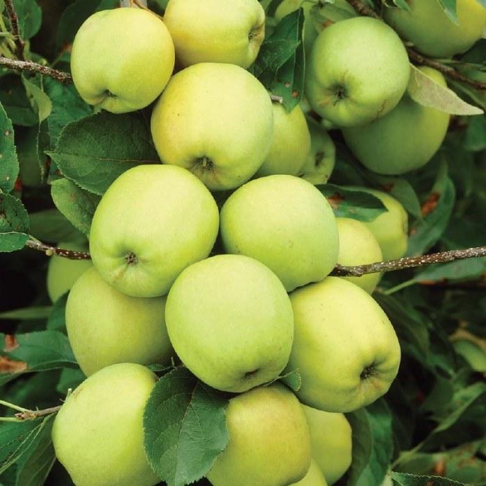 Yellow Transparent Apple