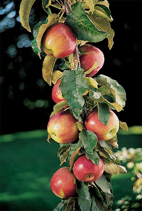 Columnar Apple Tree Scarlet Sentinal