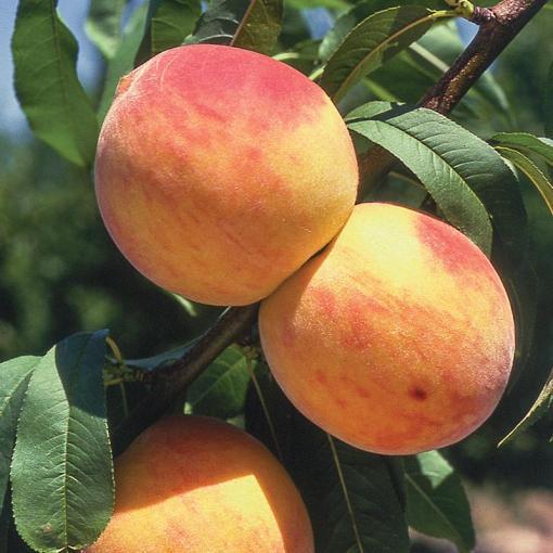 Peach Tree (Oregon Curl Free)