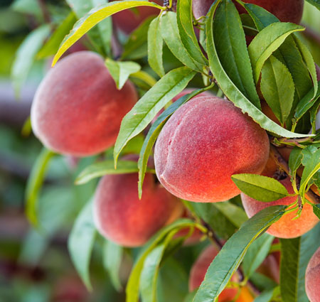 Peach Tree Red haven