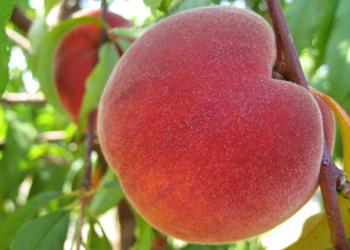 peach tree vivid