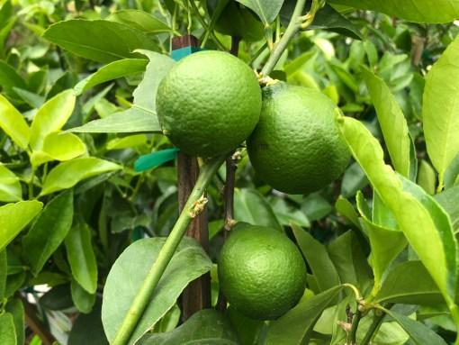 bears seedless lime