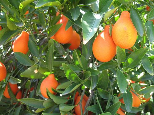 Kumquat Indio Mandarinquat