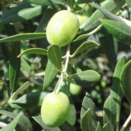 olive tree ascolana