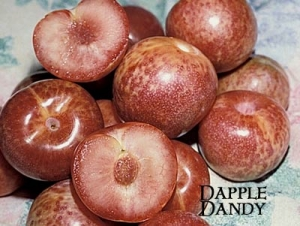 pluot dapple dandy