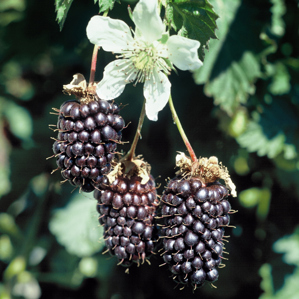 blackberry boysenberry