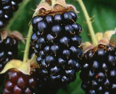 blackberry marionberry