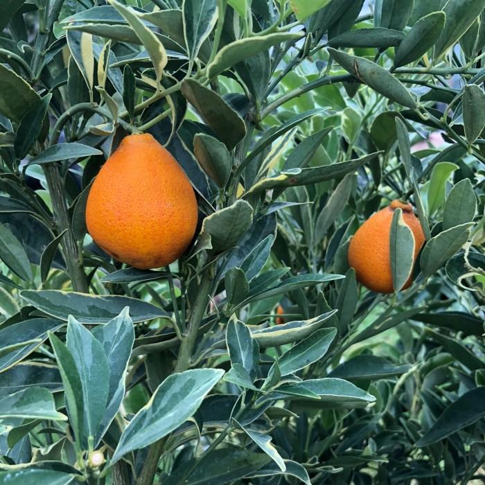 kumquat centennial variegated