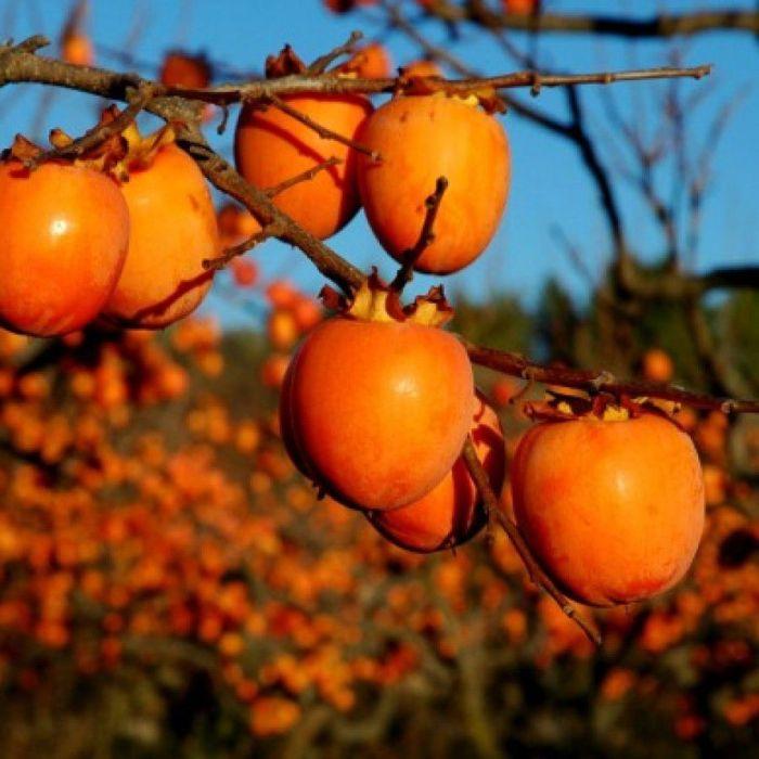 persimmon hachiya