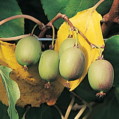 kiwi anna