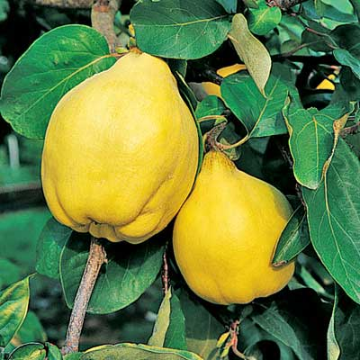 quince pineapple