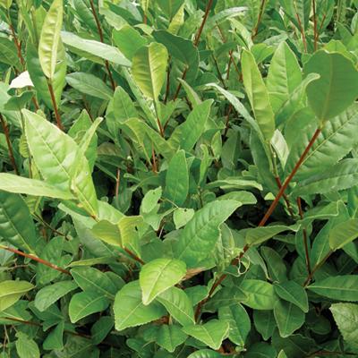 sochi tea seedling