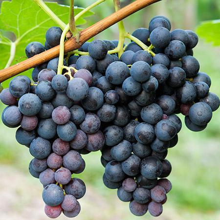 grape vine concord seedless