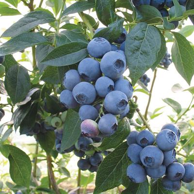 spartan blueberry