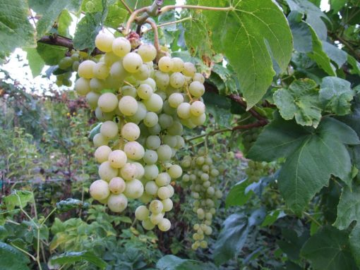 grape vine interlaken