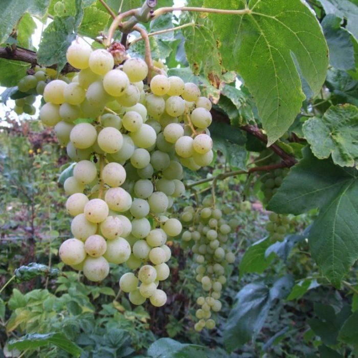 grape vine interlaken