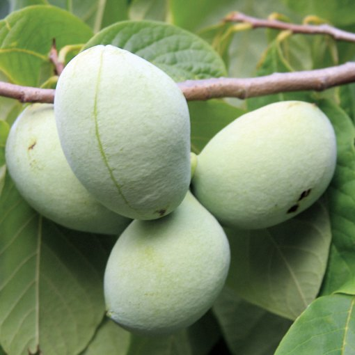 pawpaw mango