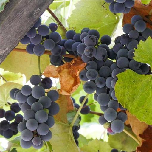 grape vine concord seeded