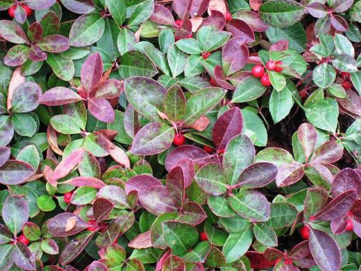 wintergreen cherry berries