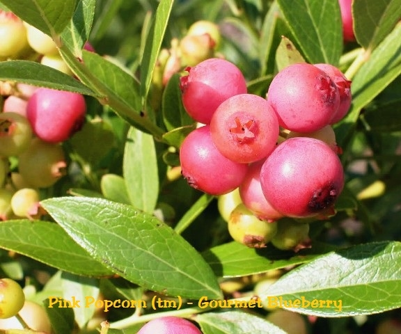blueberry pink popcorn