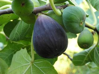 fig tree black mission