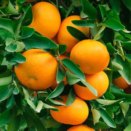 mandarin pixie