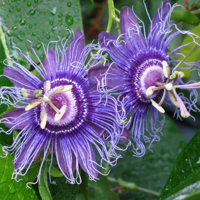 incense passion flower