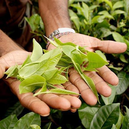 karatom tea tree
