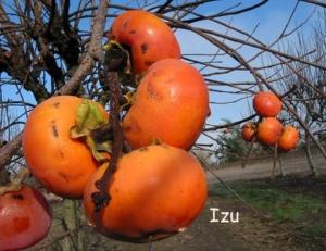 persimmon izu