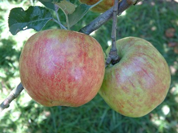 apple tree king of tompkins county