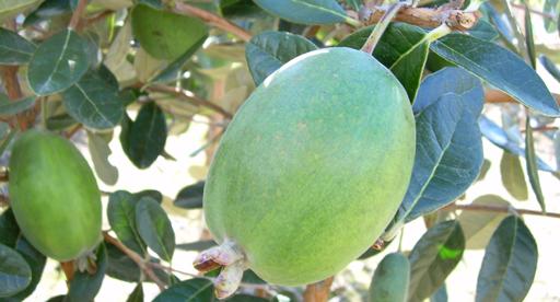 pineapple guava anatoki