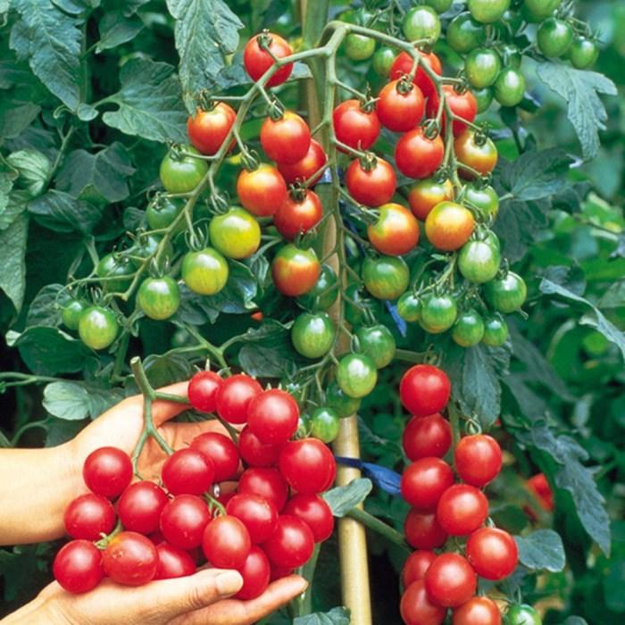 sweet million tomato