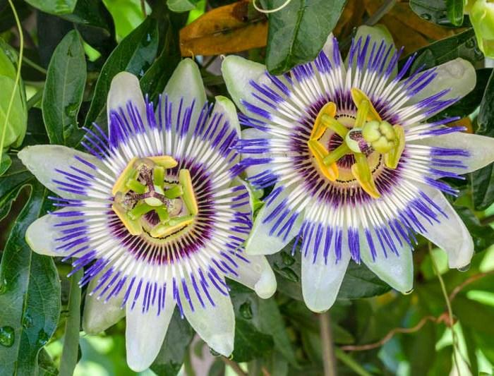 blue crown passion flower