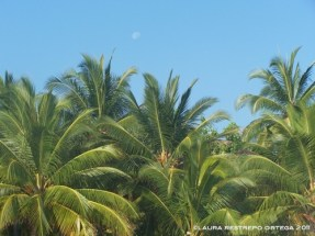 coconut trees and moon