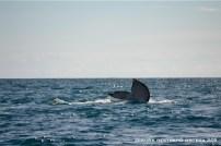 cola de ballena 1