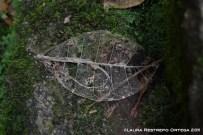 esqueleto de hoja