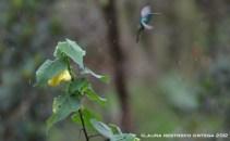 colibrí chillón 15