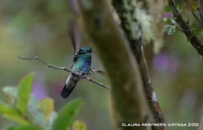 colibrí chillón 18