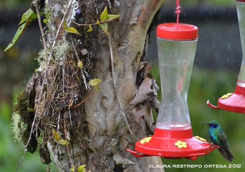colibrí verdemar 8