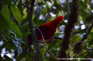rupicola peruvianus 17