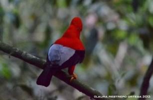 rupicola peruvianus 3