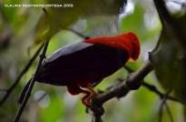 rupicola peruvianus 37