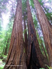 SF Muir Woods 11
