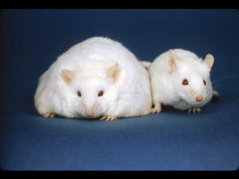 Resveratrol PREVENTS obesity… in mice!