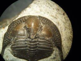 Asaphida, Cryptolithus. Foto: Marta Menacho.