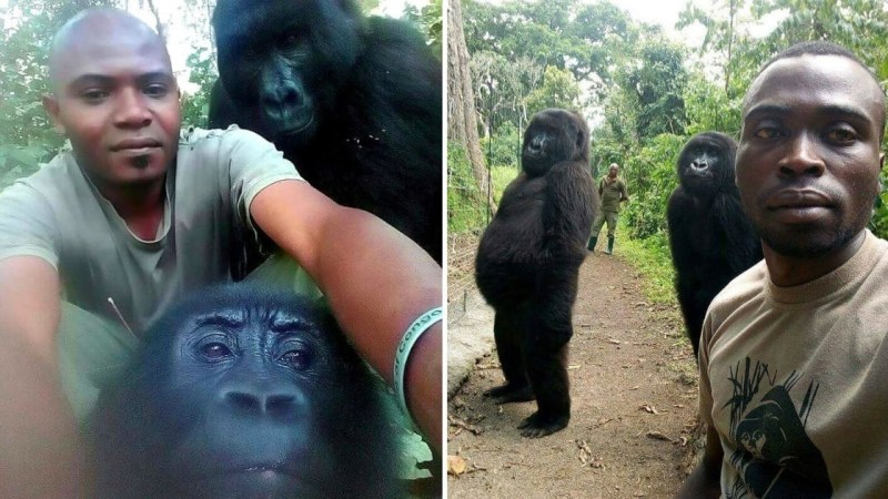 Gorillas Posture For Great Selfies With Hostile to Poaching Officers