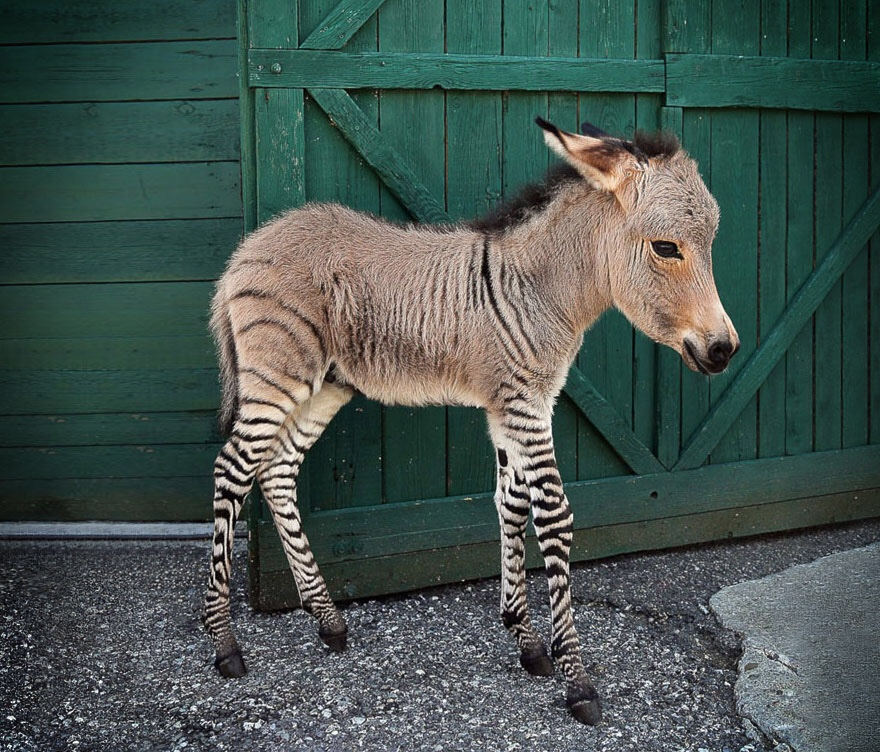 18 Stunning Hybrid Animals That Really Exist