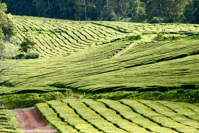 Cha Correana Tea Fields - Calderas In The Azores.jpg