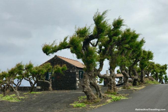 Windblown Trees - Historical Perspective of Pico Island.jpg